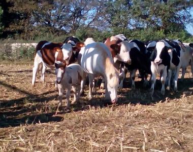 vacche in libertà